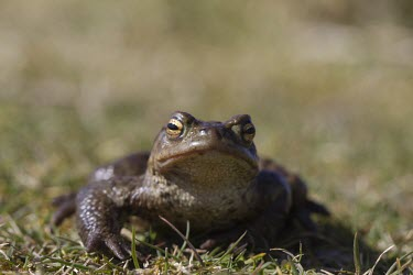 Common toad toad,toads,wart,warty,amphibian,amphibians,pond,damp,green,grey,slimy,single,one,alone,looking at camera,stare,gaze,Common-Toad,shallow focus,eyes,adult,Chordates,Chordata,Anura,Frogs and Toads,Bufoni