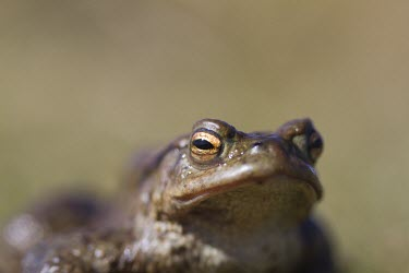 Common toad toad,toads,wart,warty,amphibian,amphibians,pond,damp,brown,grey,slimy,single,one,alone,looking at camera,stare,gaze,Common-Toad,shallow focus,negative space,eye,adult,Chordates,Chordata,Anura,Frogs an