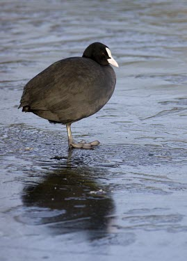 Coot - Fulica atra - standing on one leg on ice coot,coots,bird,birds,Fulica atra,Fulica,atra,black,white,red,yellow,contrast,park,parks,duck pond,pond,lakes,lake,bill,territorial,common,adult,single,one,alone,individual,ice,winter,cold,balance,one