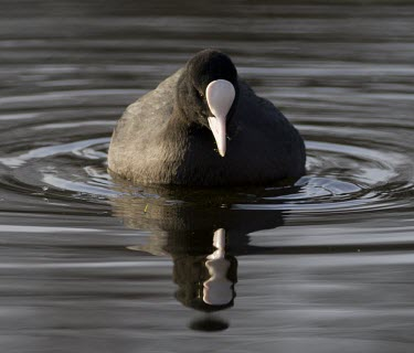 Coot - Fulica atra - adult swimming toward camera with strong reflection coot,Fulica atra,Fulica,atra,black,white,red,yellow,contrast,park,parks,duck pond,pond,lakes,lake,territorial,common,feed,feeding,adult,single,one,alone,individual,reflection,double,mirror,ripple,ripp