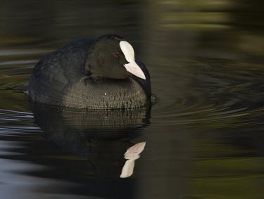 Coot - Fulica atra - adult swimming on pond in early morning coot,Fulica atra,Fulica,atra,black,white,red,yellow,contrast,park,parks,duck pond,pond,lakes,lake,territorial,common,adult,single,one,alone,individual,reflection,low angle,early morning light,bright,m