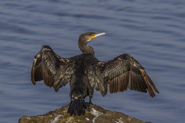 Cormorant with wings outstretched cormorant,Phalacrocorax carbo,Phalacrocorax,carbo,dark,black,sheen,green,lake,lakes,river,rivers,pond,wings,wing,spread,symbolic,eel,pterodactyl,wingspan,wings spread,open,wide,classic,pose,digestion,