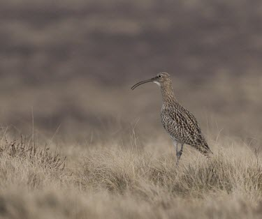 Curlew -  Numenius arquata - adult calling on moorside, Lancashire, UK - October Numenius arquata,Numenius,arquata,mountain,mountains,moor,moorlands,bill,curve,curved,beak,long bill,long curved bill,single,one,alone,lonely,isolated,wild,Curlew,grass,bird,birds,aves,walking,walk,mo