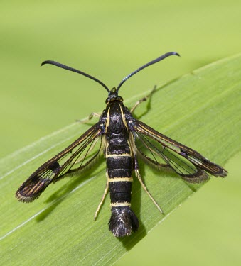 Currant Clearwing Moth, Synanthedon tipuliformis, sat on green leaf in sunshine - Wirral, June Currant Clearwing,Synanthedon tipuliformis,moth,black,yellow,stripes,sun,sunshine,daylight,day-flying,day flying,red currant,black currant,pest,garden,allotment,glass wing,Currant-Clearwing,moths,lepi