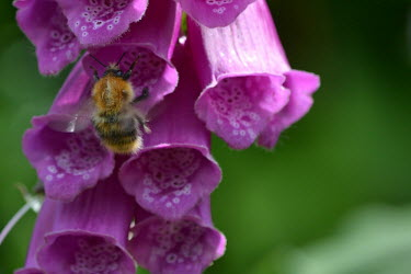 Bee pollinating foxglove Flower,purple,flowers,plant,bee,bumblebee,pollination,nectar,pretty,colourful,colour,pollen,insects,bombus,insect,Scrophulariaceae,Magnoliopsida,Dicots,Lamiales,Magnoliophyta,Flowering Plants,Temperat
