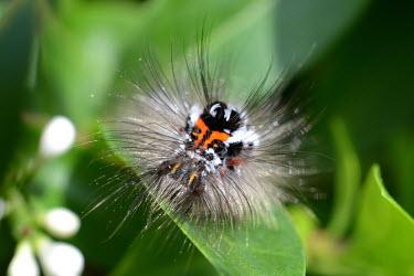Yellow-tail moth caterpillar on leaf Caterpillar,larval,larval stage,moths,moth,lepidoptera