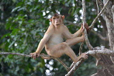 Pig-tailed macaque in tree monkey,primate,happy,smiling,smile,in tree,macaques,macaque,Asia,Borneo,Mammalia,Mammals,Chordates,Chordata,Old World Monkeys,Cercopithecidae,Primates,Animalia,Vulnerable,Terrestrial,Omnivorous,nemest