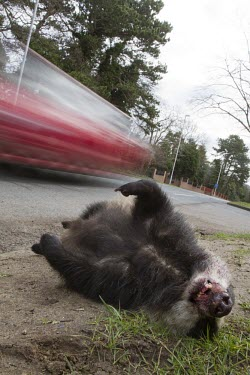 Badger, meles meles, killed by traffic and lying dead at the side of the road as vehicle speeds by badger,brock,black and white,bovine tb,btb,dead,death,victim,casualty,car,road kill,roadkill,speed,traffic,conservation,motion,movement,blur,mustelid,Chordata,carnivora,caniformia,Musteloidea,Mustelid