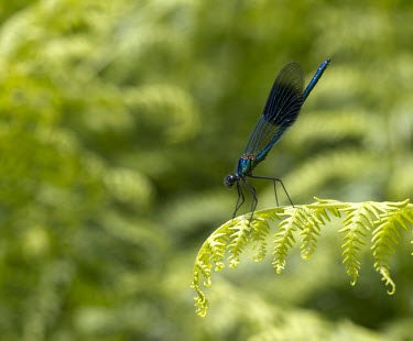 Male Banded Demoiselle, Calopteryx splendens, resting on foliage at Cheshire Banded Demoiselle,Calopteryx splendens,blue,black,damselfly,dragonfly,damselfies,male,wing,flight,hunt,hunting,green,shiny,metallic,Banded-Damoiselle,Animalia,Arthropoda,Insecta,Odonata,Calopterygidae