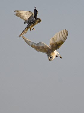 Barn Owl and Kestrel fighting over prey barn owl,barn,owl,tyto alba,tyto,alba,evening,white,silent,hunter,prey,predator,searching,search,nocturnal,crepuscular,dawn,dusk,farm,farming,fields,ghost,ghostly,kestrel,Falco tinnunculus,falcao,tinn