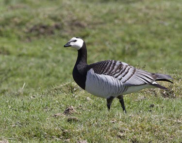 Barnacle Goose walking across moorland in Scottish Highlands Barnacle Goose,barnacle,goose,Branta leucopsis,branta,leucopsis,geese,black,white,winter,migrant,crops,crop,resident,visitor,wildfowl,farm,famland,agriculture,climate,cold,July,Barnacle-Goose,bird,bir