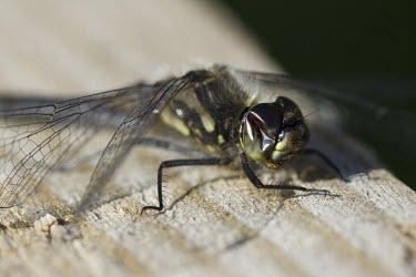 Black Darter - Sympetrum danae - male Black Darter,Sympetrum danae,dragonfly,wing,summer,spring,warm,sun,sunny,hunt,hunter,moorland,heathland,peatland,peat,bog,pond,pool,stream,pterostigma,widespread,abundant,common,Black-Darter,dragonfli