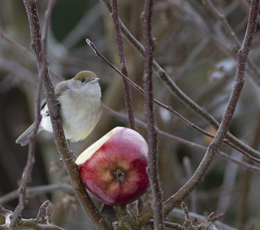 Female Blackcap - Sylvia atricapilla - in winter feeding on apple in urban garden blackcap,black,cap,sylvia atrcapilla,sylvia,atricapilla,garden,winter visitor,winter,visitor,woods,hedge,apple,feed,feeding,territory,territorial,brown head,red apple,red,brown,tree,trees,cold,frost,b