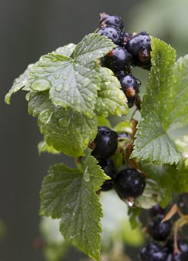 Ripe blackcurrants, Ribes nigrum, wet from recent rain blackcurrant,blackcurrants,ribes,nigrum,berry,water,rain,wet,back,Saxifragales,Grossulariaceae,sweet,summer,spring,bounty,free food,tasty,food,berries,fruit,wild,plant,plants,Plantae,Angiosperms,Angio