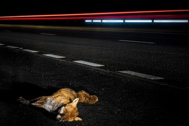 Dead red fox at side of road Fox,dog,wild dog,dead,roadkill,road,traffic,death,mortality,lights,road traffic accident,accident,urban wildlife,roads,lorries,blood,Chordates,Chordata,Mammalia,Mammals,Carnivores,Carnivora,Dog, Coyot