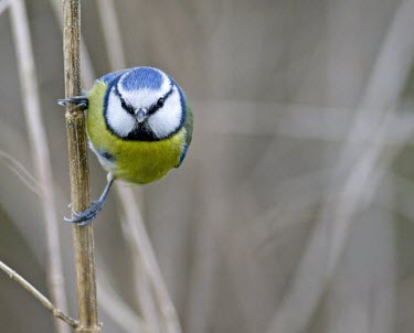 Blue Tit - Parus caeruleus, grasping reed whilst lloking for food bluetit,blue,tit,tits,bird,birds,Parus caeruleus,Parus,caeruleus,common,garden,yellow,white,small,feed,feeding,Cyanistes caeruleus,Blue-Tit,adult,negative space,perch,perched,looking at camera,Aves,Bi
