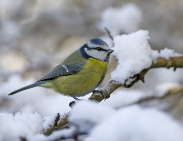 Blue Tit - Cyanistes caeruleus, in branch surrounded by snow bluetit,blue,tit,tits,bird,birds,Parus caeruleus,Parus,caeruleus,common,garden,yellow,white,small,feed,feeding,Cyanistes caeruleus,Blue-Tit,adult,negative space,perch,perched,snow,Aves,Birds,Chordates