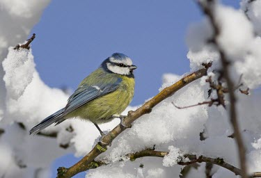 Blue Tit - Cyanistes caeruleus, in branch surrounded by snow bluetit,blue,tit,tits,bird,birds,Parus caeruleus,Parus,caeruleus,common,garden,yellow,white,small,feed,feeding,Cyanistes caeruleus,Blue-Tit,adult,negative space,perch,perched,snow,beautiful,detail,fea