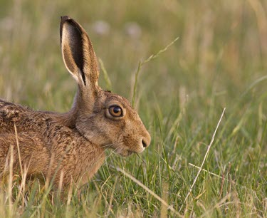 Brown Hare, Lepus europaeus, view of head with focus on orange eye European hare,European brown hare,brown hare,Brown-Hare,Lepus europaeus,hare,hares,mammal,mammals,herbivorous,herbivore,lagomorpha,lagomorph,lagomorphs,leporidae,lepus,declining,threatened,precocial,r