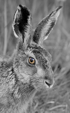 Brown Hare, Lepus europaeus, black and white close up of head with selective eye colour European hare,European brown hare,brown hare,Brown-Hare,Lepus europaeus,hare,hares,mammal,mammals,herbivorous,herbivore,lagomorpha,lagomorph,lagomorphs,leporidae,lepus,declining,threatened,precocial,r
