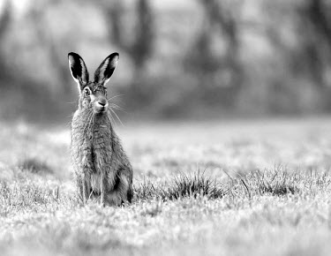 Brown Hare, Lepus europaeus, sat in dew laden grass in black and white European hare,European brown hare,brown hare,Brown-Hare,Lepus europaeus,hare,hares,mammal,mammals,herbivorous,herbivore,lagomorpha,lagomorph,lagomorphs,leporidae,lepus,declining,threatened,precocial,r