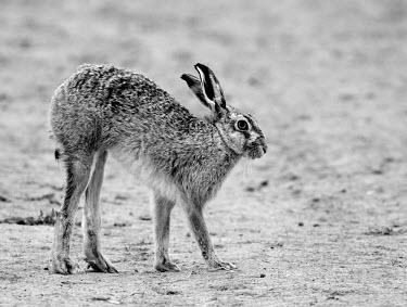 Brown Hare, Lepus europaeus, stretching in black and white European hare,European brown hare,brown hare,Brown-Hare,Lepus europaeus,hare,hares,mammal,mammals,herbivorous,herbivore,lagomorpha,lagomorph,lagomorphs,leporidae,lepus,declining,threatened,precocial,r