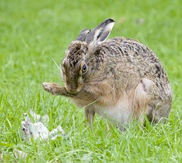 Brown Hare, Lepus europaeus, grooming fore leg European hare,European brown hare,brown hare,Brown-Hare,Lepus europaeus,hare,hares,mammal,mammals,herbivorous,herbivore,lagomorpha,lagomorph,lagomorphs,leporidae,lepus,declining,threatened,precocial,r