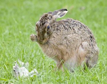 Brown Hare, Lepus europaeus, grooming with leg against face European hare,European brown hare,brown hare,Brown-Hare,Lepus europaeus,hare,hares,mammal,mammals,herbivorous,herbivore,lagomorpha,lagomorph,lagomorphs,leporidae,lepus,declining,threatened,precocial,r