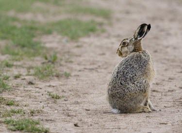 Brown Hare, Lepus europaeus, sat looking over shoulder European hare,European brown hare,brown hare,Brown-Hare,Lepus europaeus,hare,hares,mammal,mammals,herbivorous,herbivore,lagomorpha,lagomorph,lagomorphs,leporidae,lepus,declining,threatened,precocial,r