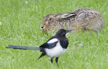 Brown Hare, Lepus europaeus, keeping watchful eye on a magpie European hare,European brown hare,brown hare,Brown-Hare,Lepus europaeus,hare,hares,mammal,mammals,herbivorous,herbivore,lagomorpha,lagomorph,lagomorphs,leporidae,lepus,declining,threatened,precocial,r