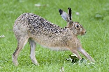 Brown Hare, Lepus europaeus, strethcing European hare,European brown hare,brown hare,Brown-Hare,Lepus europaeus,hare,hares,mammal,mammals,herbivorous,herbivore,lagomorpha,lagomorph,lagomorphs,leporidae,lepus,declining,threatened,precocial,r