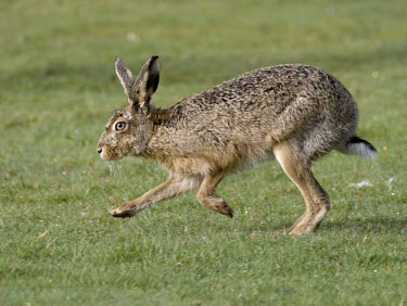 Side view of Brown Hare, Lepus europaeus, running with front legs off the ground European hare,European brown hare,brown hare,Brown-Hare,Lepus europaeus,hare,hares,mammal,mammals,herbivorous,herbivore,lagomorpha,lagomorph,lagomorphs,leporidae,lepus,declining,threatened,precocial,r
