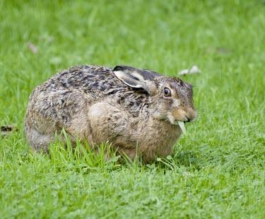 Brown Hare, Lepus europaeus,with blade of grass in mouth European hare,European brown hare,brown hare,Brown-Hare,Lepus europaeus,hare,hares,mammal,mammals,herbivorous,herbivore,lagomorpha,lagomorph,lagomorphs,leporidae,lepus,declining,threatened,precocial,r