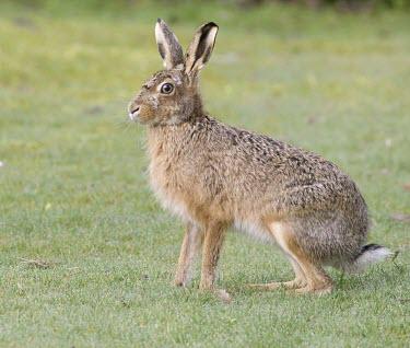 Side view of Brown Hare, Lepus europaeus sitting with ears raised European hare,European brown hare,brown hare,Brown-Hare,Lepus europaeus,hare,hares,mammal,mammals,herbivorous,herbivore,lagomorpha,lagomorph,lagomorphs,leporidae,lepus,declining,threatened,precocial,r