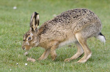 Side view of Brown Hare, Lepus europaeus. sniffing the ground with one front leg raised European hare,European brown hare,brown hare,Brown-Hare,Lepus europaeus,hare,hares,mammal,mammals,herbivorous,herbivore,lagomorpha,lagomorph,lagomorphs,leporidae,lepus,declining,threatened,precocial,r