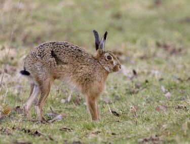 Side view of Brown Hare, Lepus europaeus, stretching after rising from sitting position European hare,European brown hare,brown hare,Brown-Hare,Lepus europaeus,hare,hares,mammal,mammals,herbivorous,herbivore,lagomorpha,lagomorph,lagomorphs,leporidae,lepus,declining,threatened,precocial,r