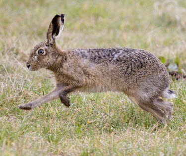 Side view of Brown Hare, Lepus europaeus, running across dew wet grass with front feet raised off the ground European hare,European brown hare,brown hare,Brown-Hare,Lepus europaeus,hare,hares,mammal,mammals,herbivorous,herbivore,lagomorpha,lagomorph,lagomorphs,leporidae,lepus,declining,threatened,precocial,r