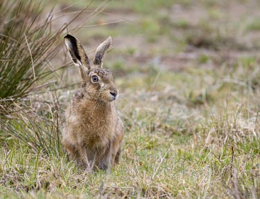 Head on view of Brown Hare, Lepus europaeus, sat in grassland with head turned to the left profile European hare,European brown hare,brown hare,Brown-Hare,Lepus europaeus,hare,hares,mammal,mammals,herbivorous,herbivore,lagomorpha,lagomorph,lagomorphs,leporidae,lepus,declining,threatened,precocial,r