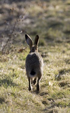 Rear view of Brown Hare, Lepus europaeus, running along a footpath away from the viewer European hare,European brown hare,brown hare,Brown-Hare,Lepus europaeus,hare,hares,mammal,mammals,herbivorous,herbivore,lagomorpha,lagomorph,lagomorphs,leporidae,lepus,declining,threatened,precocial,r