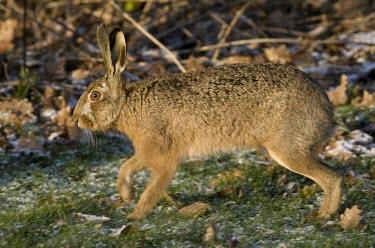 Side view of Brown Hare, Lepus europaeus, walking with eye in focus but feet blurred in motion European hare,European brown hare,brown hare,Brown-Hare,Lepus europaeus,hare,hares,mammal,mammals,herbivorous,herbivore,lagomorpha,lagomorph,lagomorphs,leporidae,lepus,declining,threatened,precocial,r