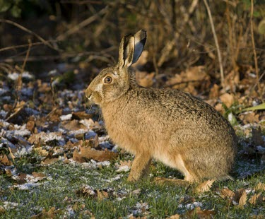 Side view of Brown Hare, Lepus europaeus, sat in frosty grass with some snow on the ground European hare,European brown hare,brown hare,Brown-Hare,Lepus europaeus,hare,hares,mammal,mammals,herbivorous,herbivore,lagomorpha,lagomorph,lagomorphs,leporidae,lepus,declining,threatened,precocial,r
