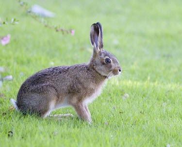 Brown Hare, Lepus europaeus, leveret alert to danger with ear high European hare,European brown hare,brown hare,Brown-Hare,Lepus europaeus,hare,hares,mammal,mammals,herbivorous,herbivore,lagomorpha,lagomorph,lagomorphs,leporidae,lepus,declining,threatened,precocial,r
