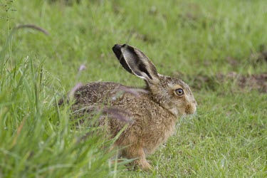 Young Brown Hare, Lepus europaeus, sat on ground slightly obscured by grass European hare,European brown hare,brown hare,Brown-Hare,Lepus europaeus,hare,hares,mammal,mammals,herbivorous,herbivore,lagomorpha,lagomorph,lagomorphs,leporidae,lepus,declining,threatened,precocial,r
