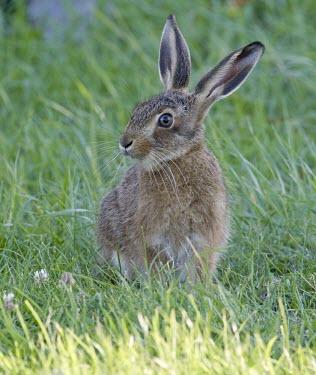 Brown Hare, Lepus europaeus, leveret face on with head turned to the side European hare,European brown hare,brown hare,Brown-Hare,Lepus europaeus,hare,hares,mammal,mammals,herbivorous,herbivore,lagomorpha,lagomorph,lagomorphs,leporidae,lepus,declining,threatened,precocial,r