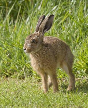 Brown Hare, Lepus europaeus, leveret strecthing in summer sun European hare,European brown hare,brown hare,Brown-Hare,Lepus europaeus,hare,hares,mammal,mammals,herbivorous,herbivore,lagomorpha,lagomorph,lagomorphs,leporidae,lepus,declining,threatened,precocial,r