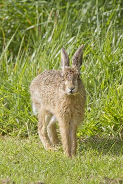 Brown Hare, Lepus europaeus, leveret looking directly at viewer and stretching European hare,European brown hare,brown hare,Brown-Hare,Lepus europaeus,hare,hares,mammal,mammals,herbivorous,herbivore,lagomorpha,lagomorph,lagomorphs,leporidae,lepus,declining,threatened,precocial,r