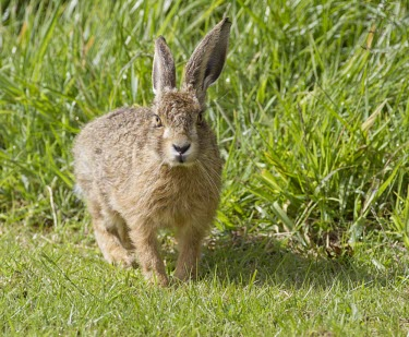 Brown Hare, Lepus europaeus, leveret looking directly at view and displaying fluffy new coat European hare,European brown hare,brown hare,Brown-Hare,Lepus europaeus,hare,hares,mammal,mammals,herbivorous,herbivore,lagomorpha,lagomorph,lagomorphs,leporidae,lepus,declining,threatened,precocial,r