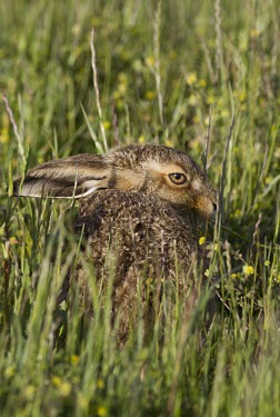 Brown Hare, Lepus europaeus, leveret hiding in grass with back to viewer European hare,European brown hare,brown hare,Brown-Hare,Lepus europaeus,hare,hares,mammal,mammals,herbivorous,herbivore,lagomorpha,lagomorph,lagomorphs,leporidae,lepus,declining,threatened,precocial,r
