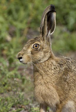 Head profile of alert Brown Hare, Lepus europaeus, with ears and eye the focus European hare,European brown hare,brown hare,Brown-Hare,Lepus europaeus,hare,hares,mammal,mammals,herbivorous,herbivore,lagomorpha,lagomorph,lagomorphs,leporidae,lepus,declining,threatened,precocial,r