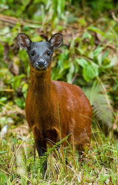 Little red brocket portrait Deer,brocket,brockets,Ecuador red brocket,cervidae,cervids,Ruminantia,Artiodactyla,rare,unstudied,mammal,mammalia